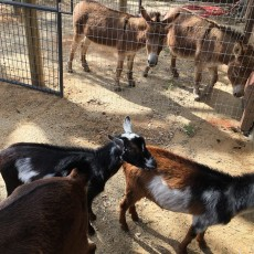 Things to do in Folsom-EDH, CA for Kids: Barnyard Experience Grand Opening, Folsom City Zoo Sanctuary