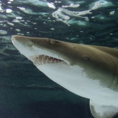 Long Beach, CA Events for Kids: Junior Biologist: Sharks