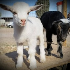 Things to do in Casa Adobes-Oro Valley, AZ: Petting Zoo!