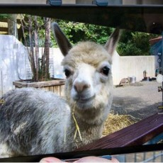 Spend some Quality Time with an Alpaca