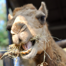 Meet a Camel from 'The Zoo'