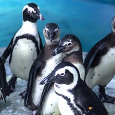 Things to do in Scottsdale, AZ for Kids: Waddle You Know? All About Penguins!, OdySea Aquarium