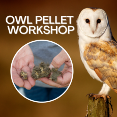 Things to do in Casa Adobes-Oro Valley, AZ: Owl Pellet Workshop