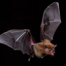 Things to do in Casa Adobes-Oro Valley, AZ: Bat's Incredible!