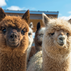Visit with the Alpacas