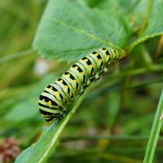 Main Line, Pa Events: Gardening for Butterflies and Their Caterpillars