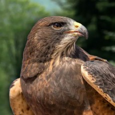 Towson, MD Events for Kids: [National] Meet Raptors from Around the World