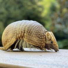 Meet an Amazing Armadillo