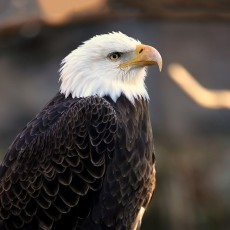 Things to do in Main Line, Pa: National Eagle Day Celebration