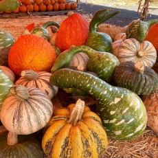 Mr. Jack O' Lanterns Pumpkin Patch is OPEN!