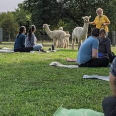 Things to do in Olathe, KS for Kids: Yoga with Alpacas, Manna Meadows Alpacas