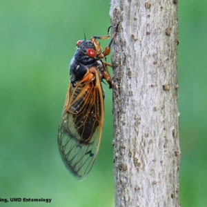 Things to do in Laurel-Columbia, MD for Kids: Wild Walk: Cicadas!, The Howard County Conservancy